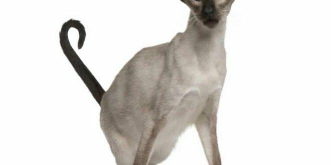 Il gatto Balinese e la sua particolare silouhette