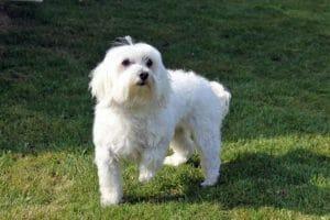 Il cane Maltese