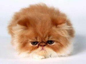Il dolcissimo gatto di razza Persiano