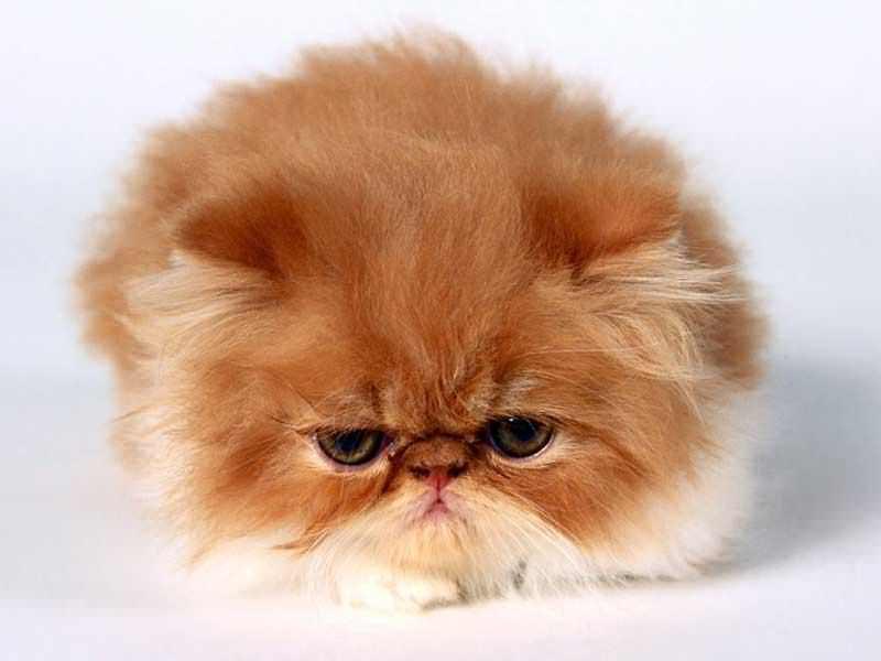 Il Gatto Persiano Come Prendersene Cura Consigli Animali Domestici