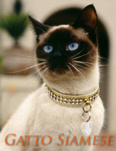 Un bel primo piano di un gatto Siamese