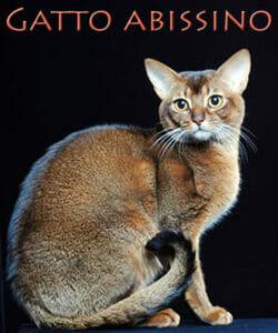 Il gatto abissino: discendente dei felini egiziani