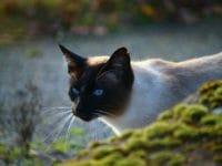 Il gatto di razza Siamese