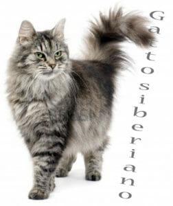 L'elegante gatto siberiano