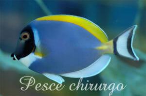 Il colorato pesce chirurgo
