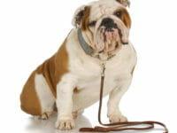 Cane di razza Bulldog