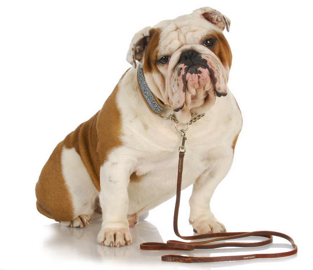 il cane di razza bulldog consigli animali domestici