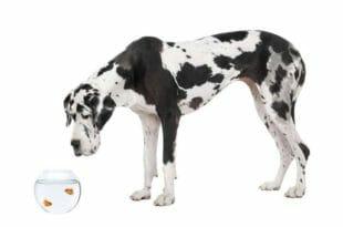 Un cane Alano