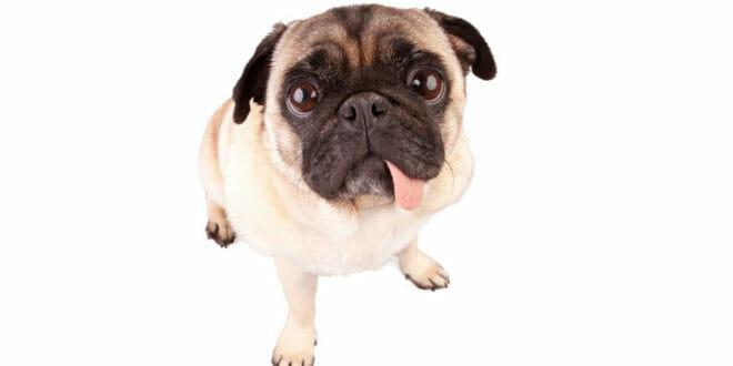 Carlino: cane simpatia!
