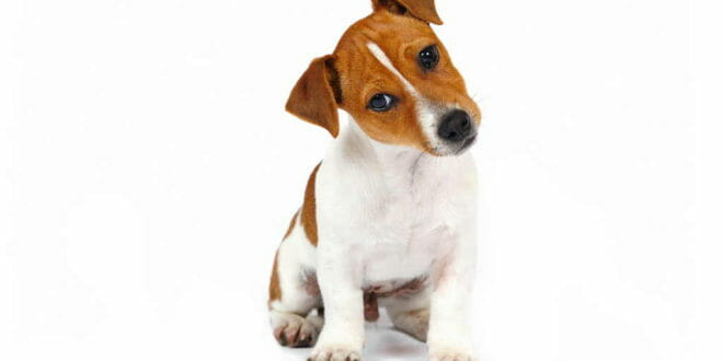 Cane Jack Russel