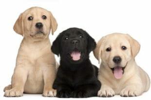 Cani labrador neri e marrone