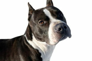 Cane Pitbull razza