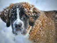 Il cane di razza San Bernardo