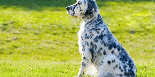 Setter inglese il cane da caccia consigli animali domestici for Cane setter