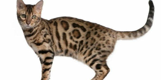Il gatto del Bengala