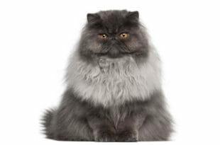 Un simpatico gatto Persiano