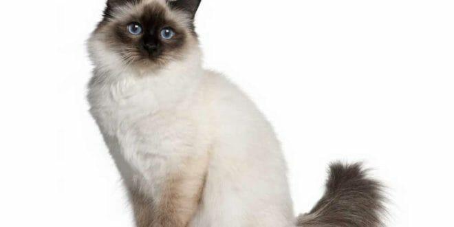 """Un gatto """"sacro"""" della Birmania"""