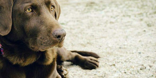 Il pedigree per i cani di razza