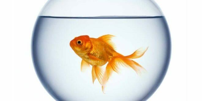 Il pesce rosso qualche consiglio consigli animali domestici for Pesce rosso butterfly