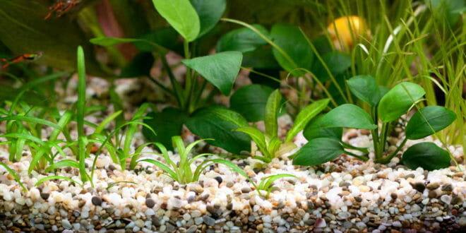 Le piante per l 39 acquario consigli animali domestici for Piante da acquario